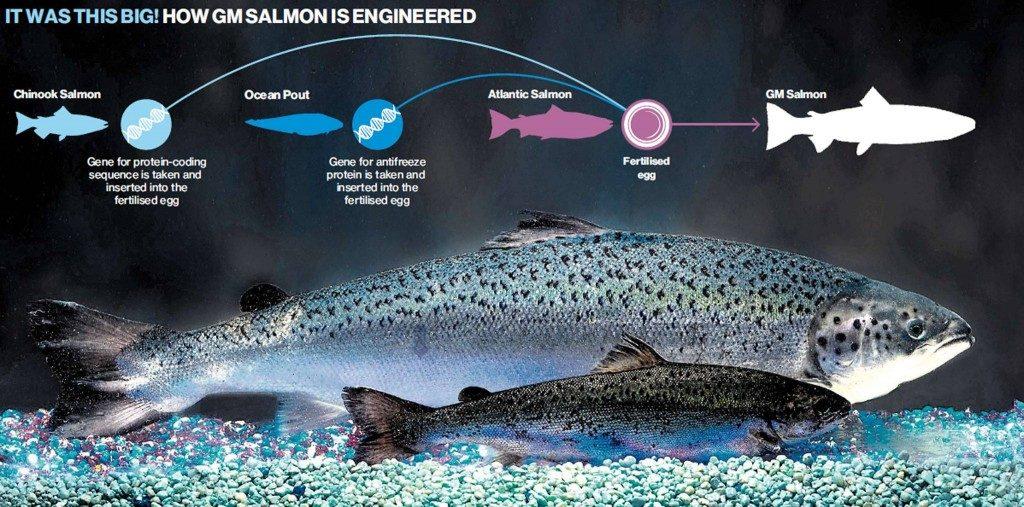 allevamento intensivo-allevamento intensivo salmone-salmone-ristorante pizzeria il melograno-trieste
