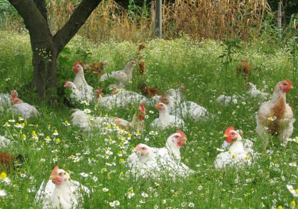 polli-allevamento polli-melograno palmanova-pizzeria melograno trieste